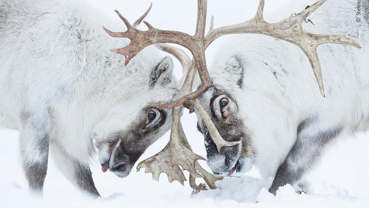 Las imágenes ganadoras del Wildlife Photographer of the Year 2021 te dejarán sin aliento