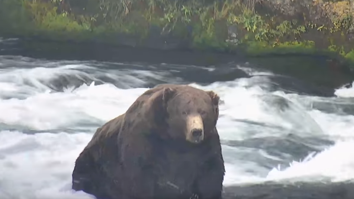 A look at how Fat Bear Week became an annual highlight