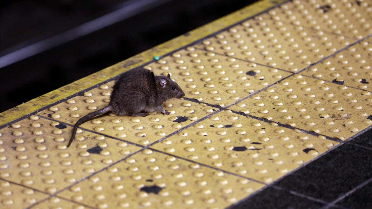 New York City Hit by Spike of a Rare Disease Spread by Rat Urine