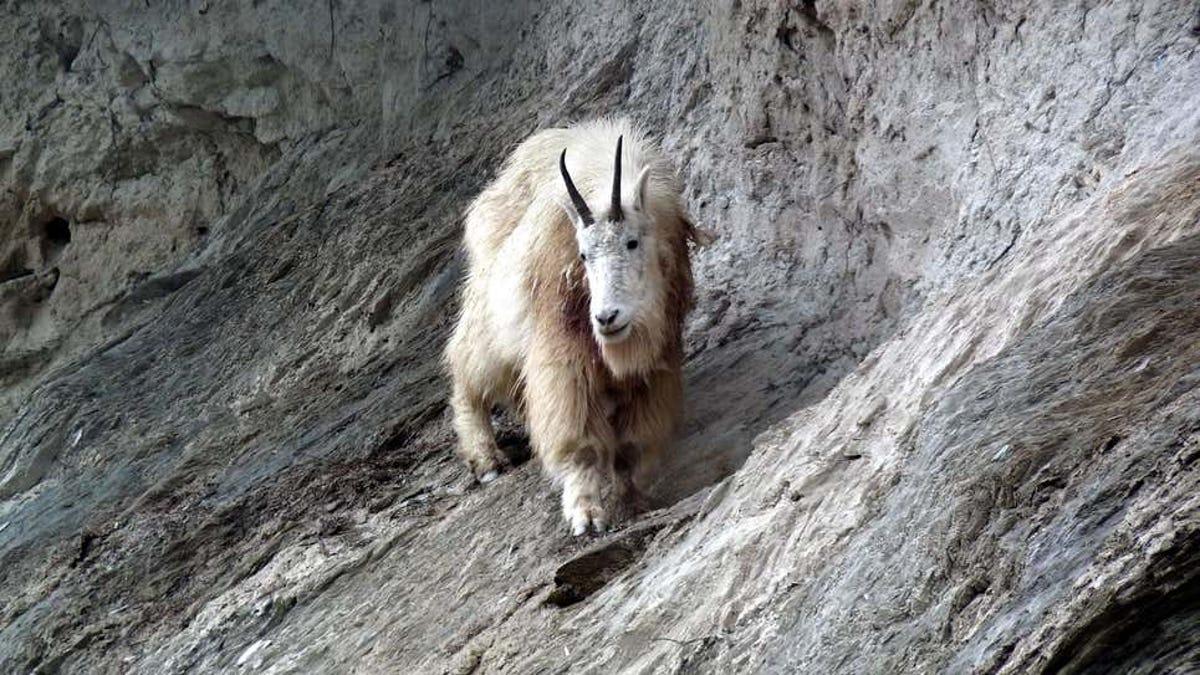 Una cabra montesa mata un oso grizzly en el Parque Nacional Canadiense