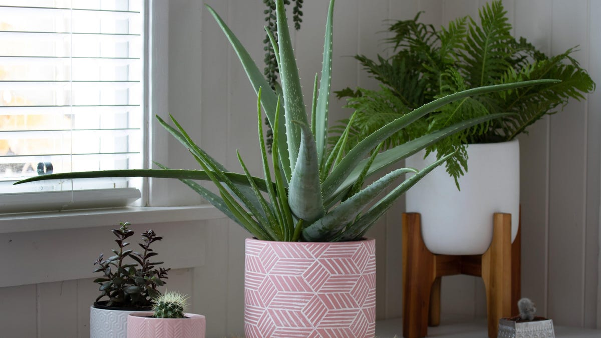 How to Grow Aloe Vera, Because It's Easier Than You Think