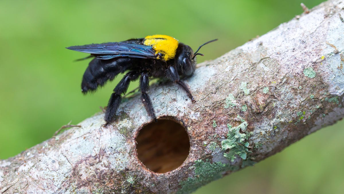 How to Get Carpenter Bees Out of Your Yard Without Killing Them