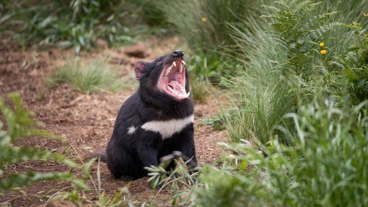 Tasmanian Devils Born in Australia Wild for First Time in 3,000 Years