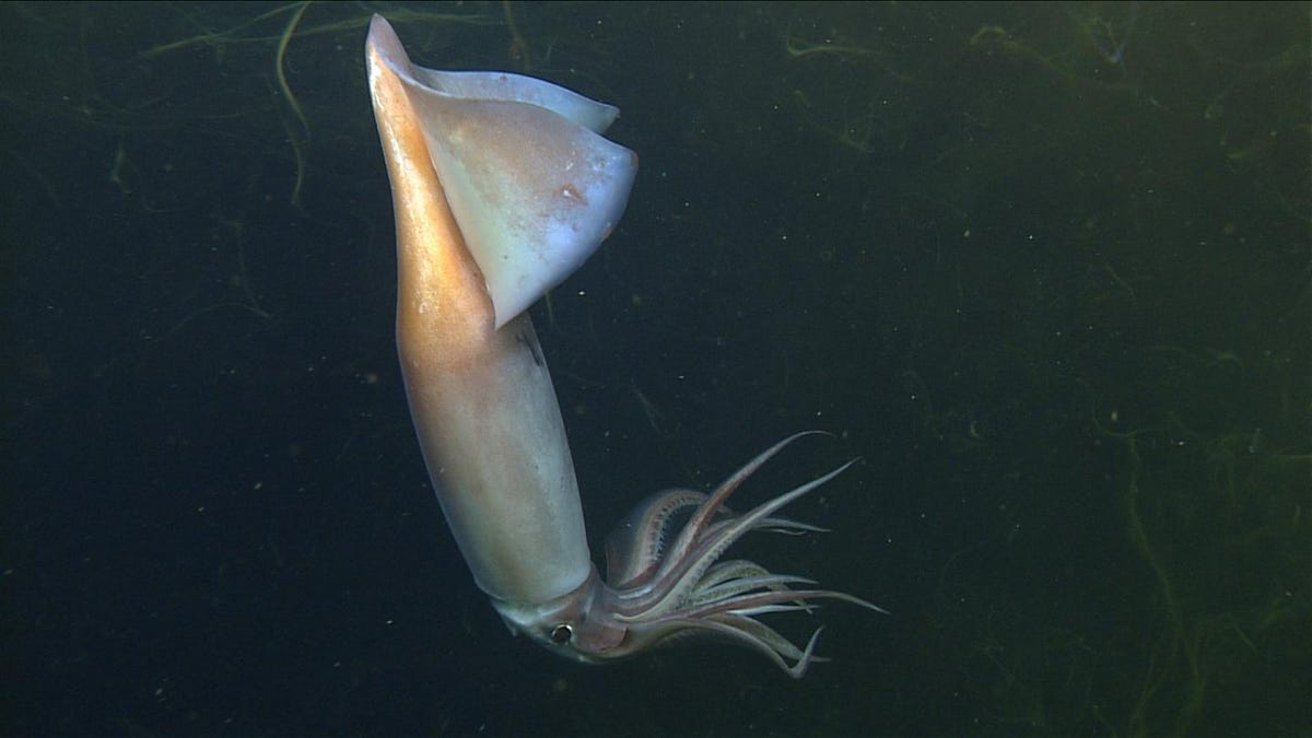 Glowing Deep-Sea Squid Have a Complex Form of Communication, New Evidence Suggests