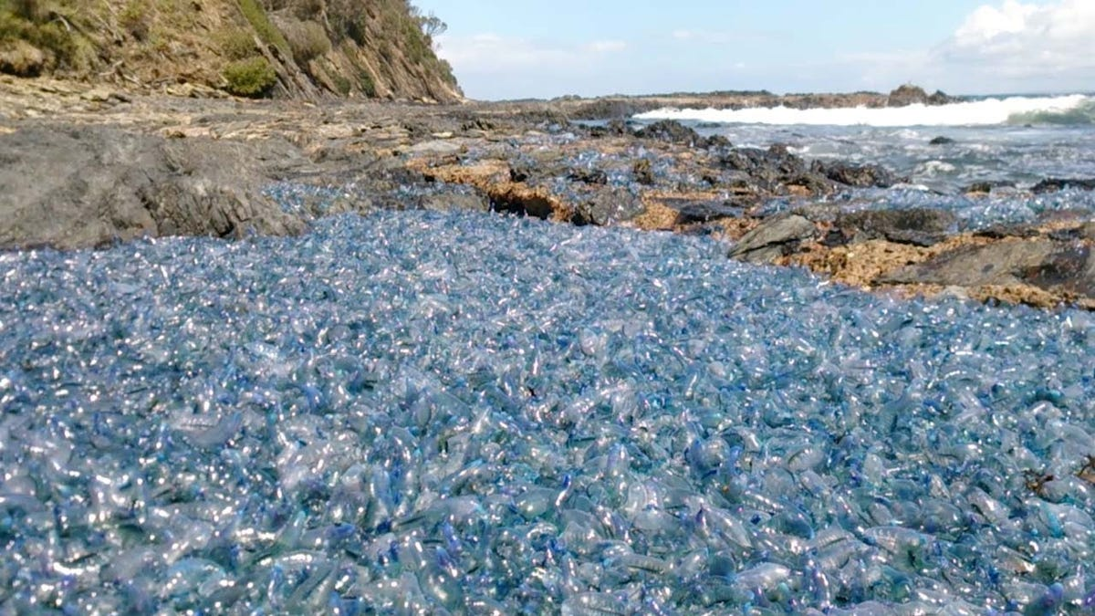 Thousands of Venomous Portuguese Man O' Wars Wash Ashore in Australia: 'It Was the Stuff Of Nightmares'