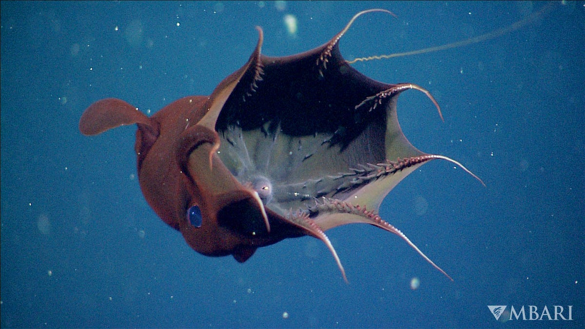 30-Million-Year-Old Fossil Reveals Ancient Vampire Squid