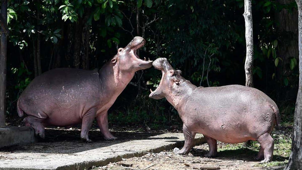 Los hipopótamos de Pablo Escobar son legalmente personas jurídicas
