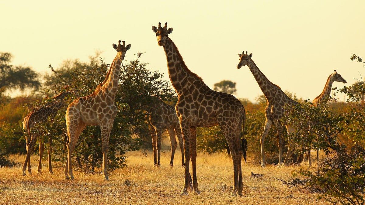 photo of Biologists Have Been Vastly Underestimating Giraffes' Social Skills image