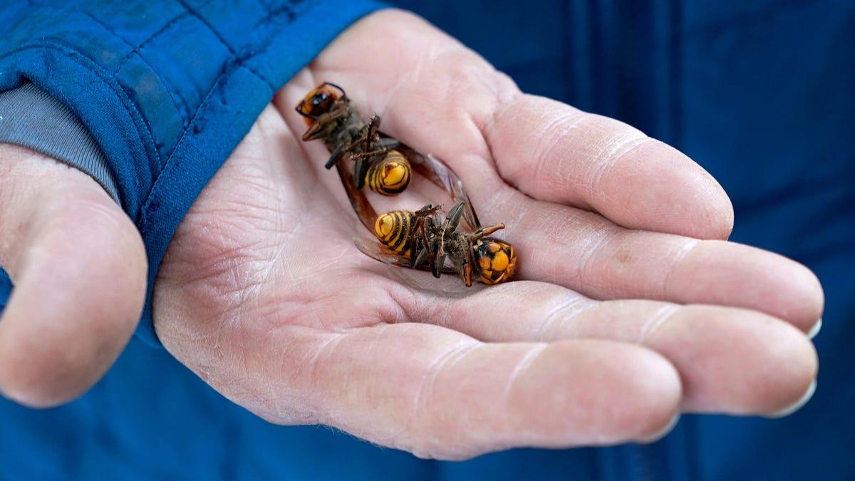 More Murder Hornet Nests Found in Washington State