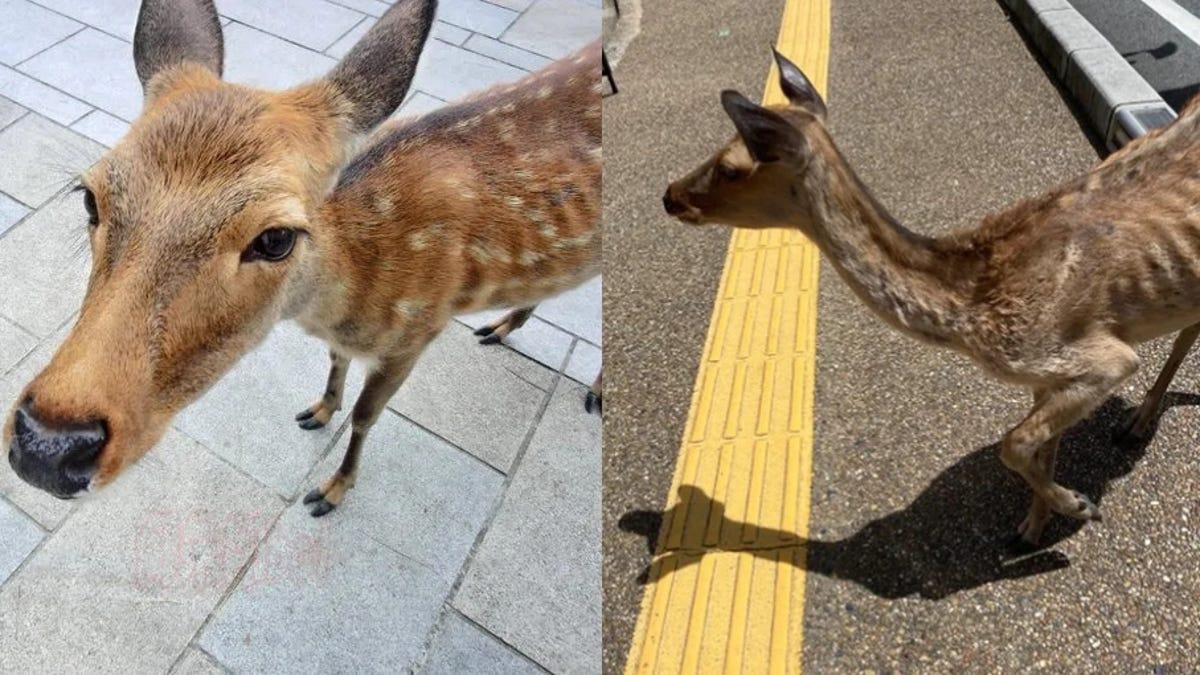 Algunos ciervos de Nara están desnutridos por la falta de turistas (tienen comida, pero quieren galletas)