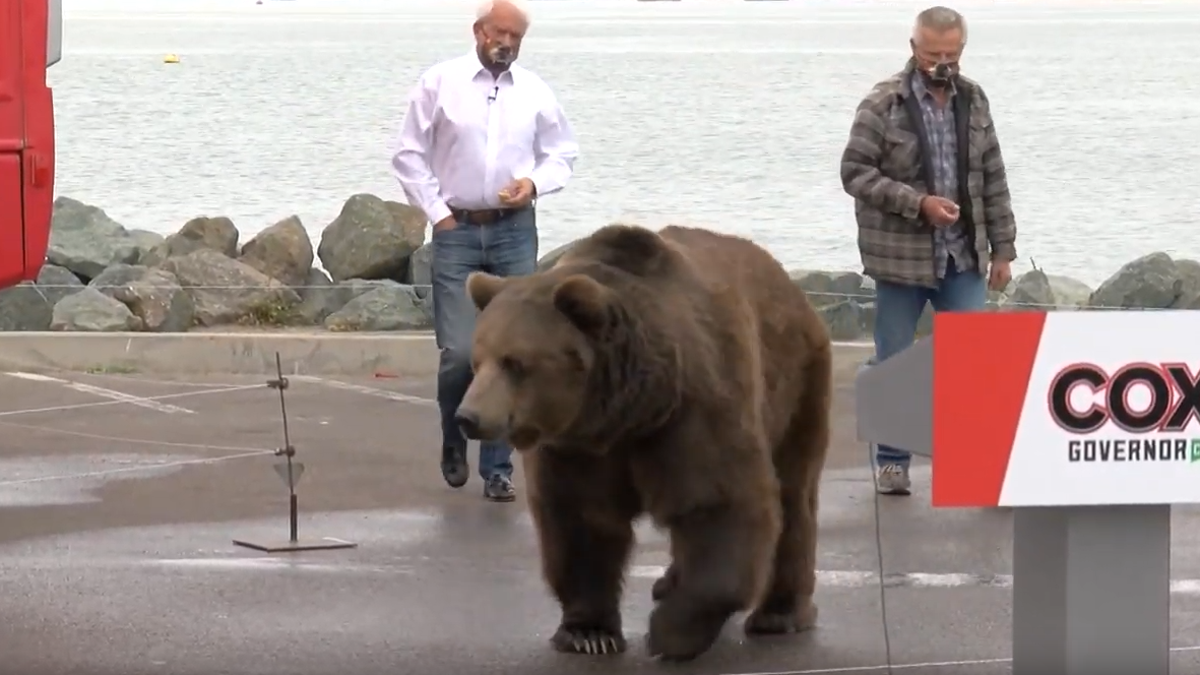 Celebrity bear enters politics