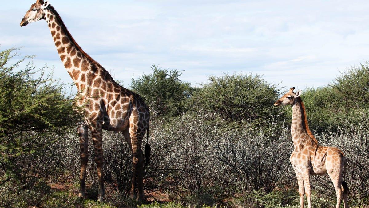 Scientists Discover Short-Legged Corgi Giraffes