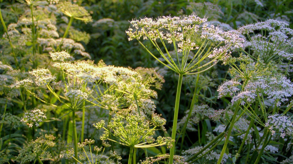 How to Identify Poison Hemlock as the Invasive Species Spreads