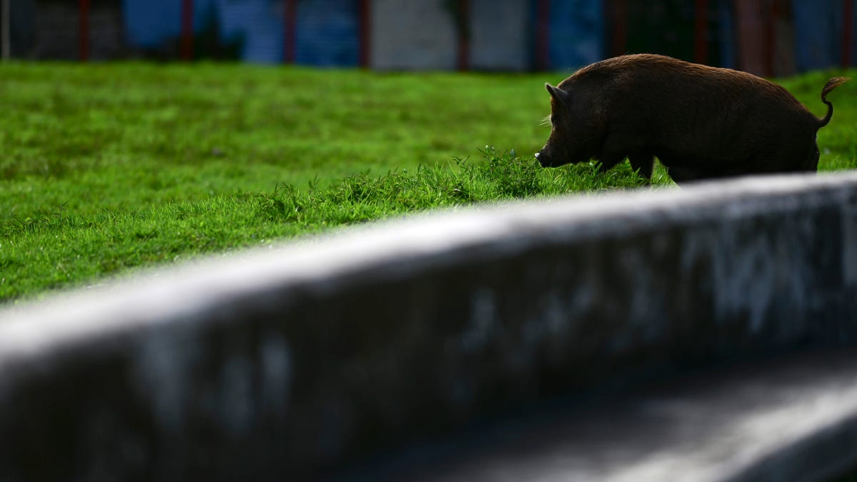 A Hunter in Florida Got a Rare Brain Infection From Feral Hogs