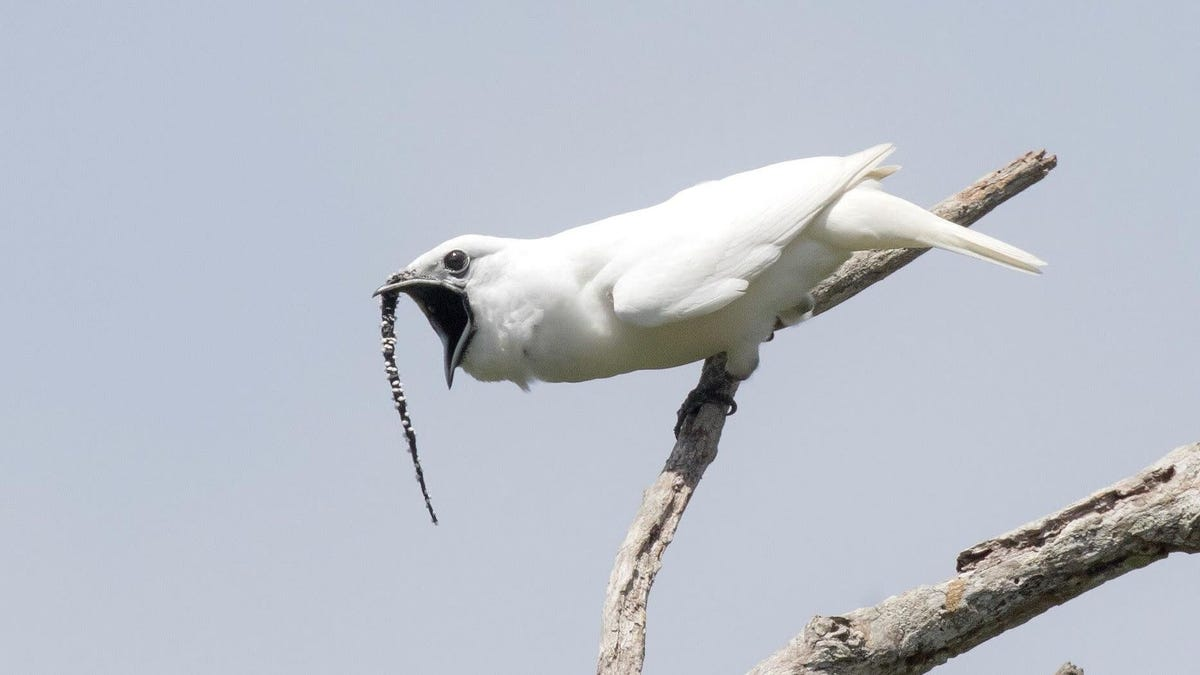 World's Loudest Bird Shrieks Directly Into Potential Mates' Faces