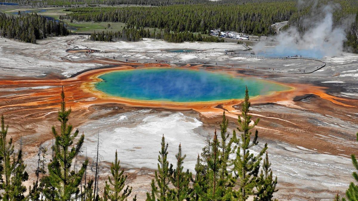 Se cuela en Yellowstone. Cae en las aguas termales hirviendo