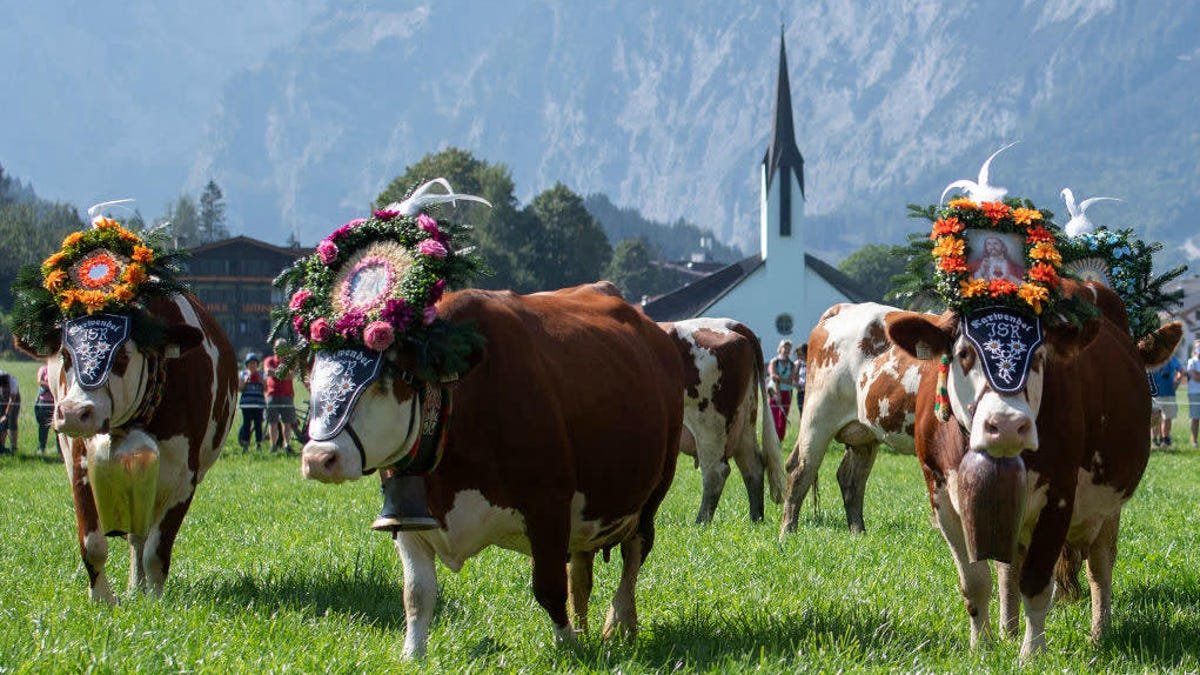 Enjoy a romantic Zoom date with an udder-ly gorgeous bovine