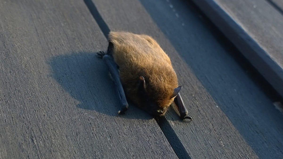 Cómo el murciélago común se convirtió en el mayor protector de los libros en la Biblioteca Joanina en Portugal