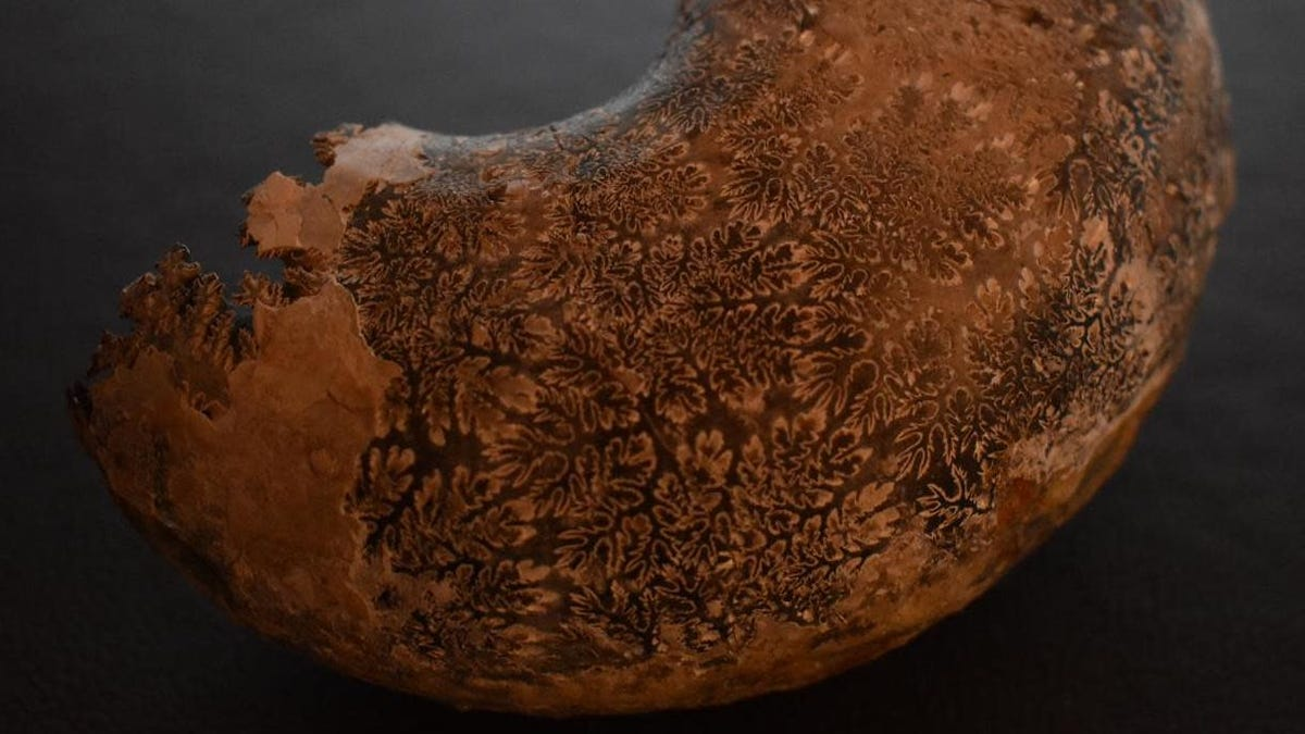 See the Fractal-Like Shells of Ammonites Like Never Before