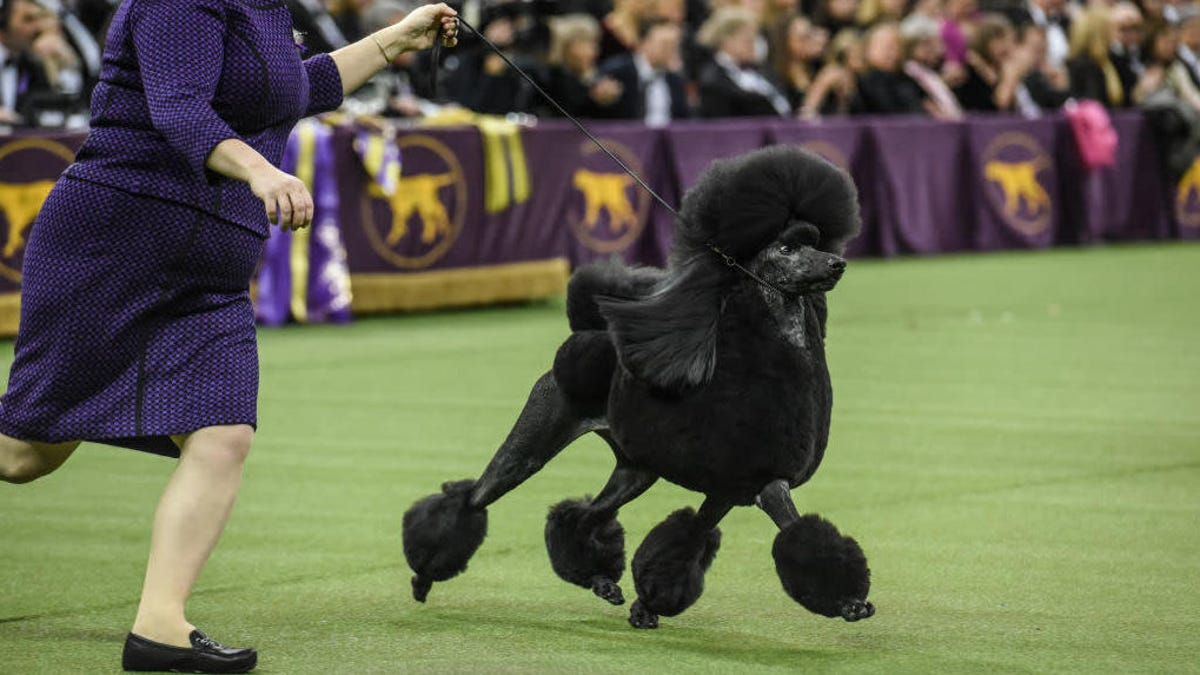 Westminster Dog Show awards top prize to bio-engineered beast instead of a nice golden retriever