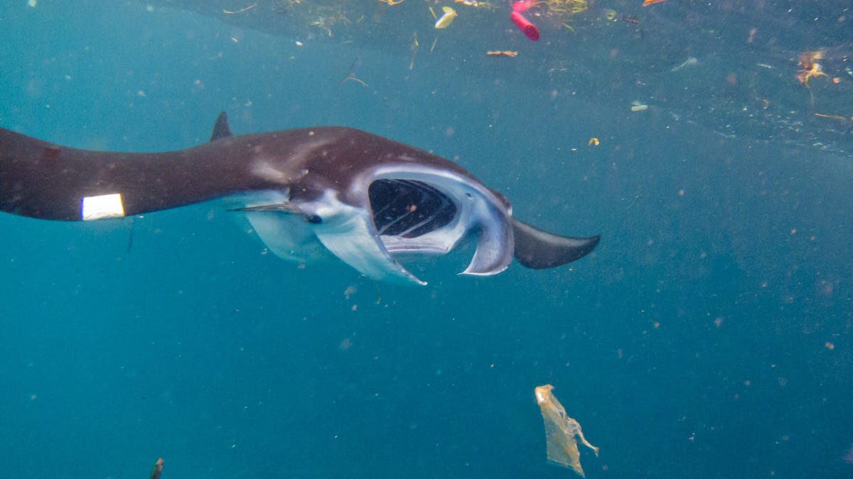 Manta Rays and Whale Sharks Are Consuming a Staggering Amount of Plastic
