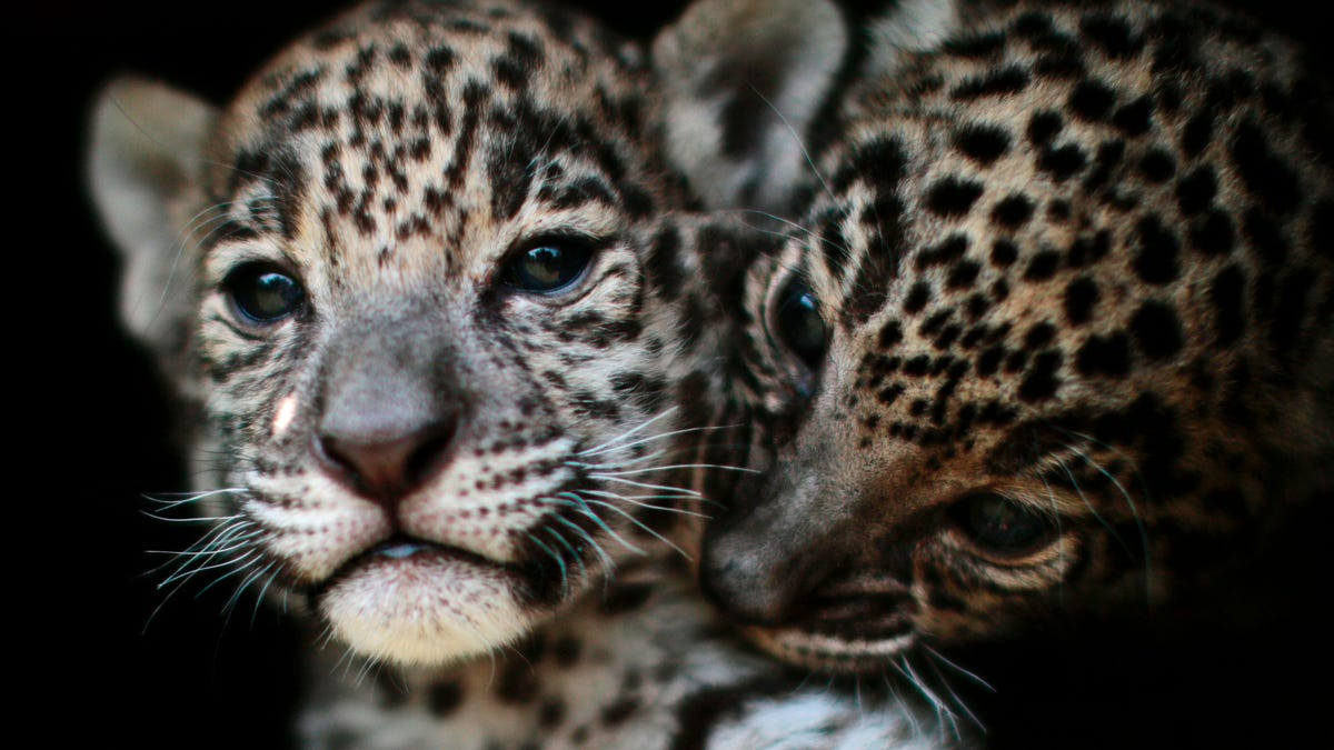 Scientists Want to Bring Jaguars Back to America's Mountains