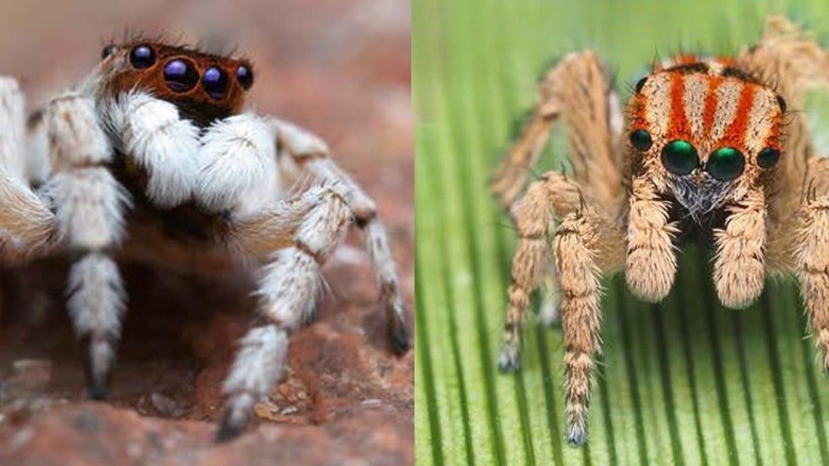 Descubren en Australia doce nuevas especies de araña pavo real