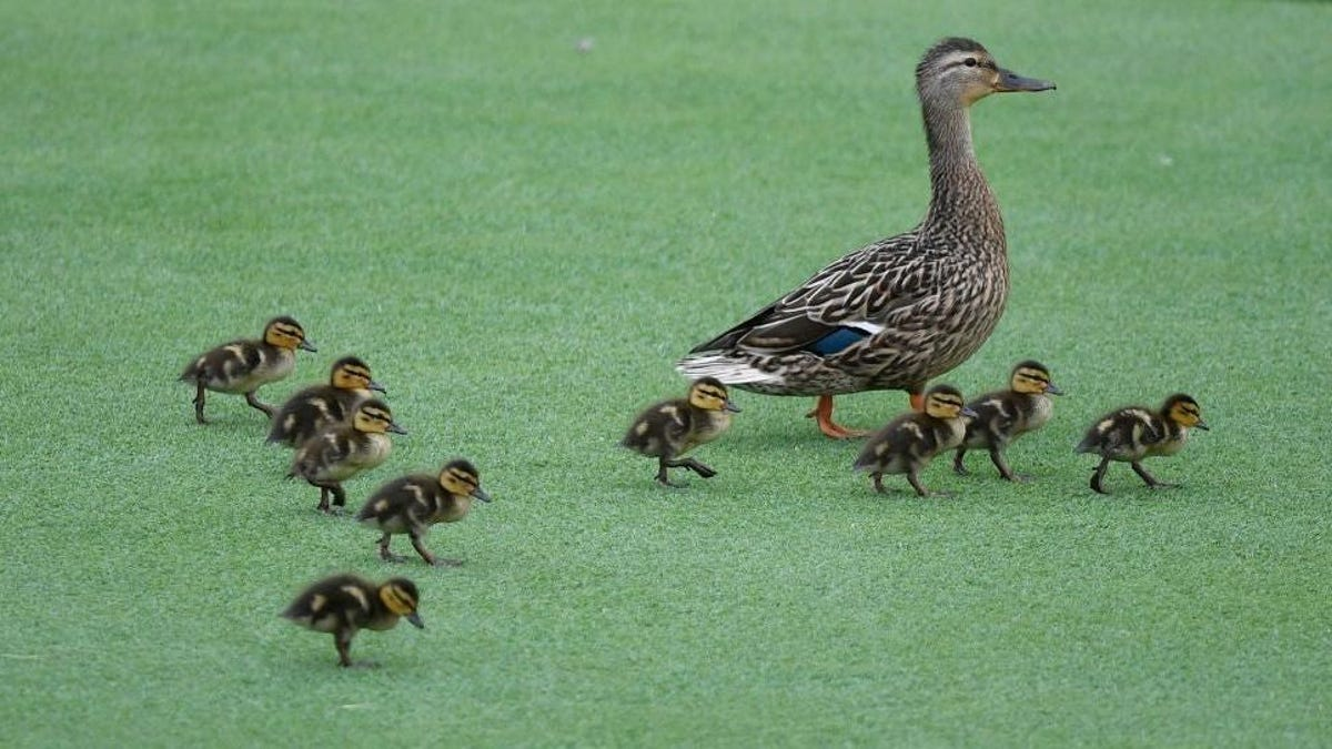 Mother duck and babies enjoy field trip to Brooklyn bagel shop