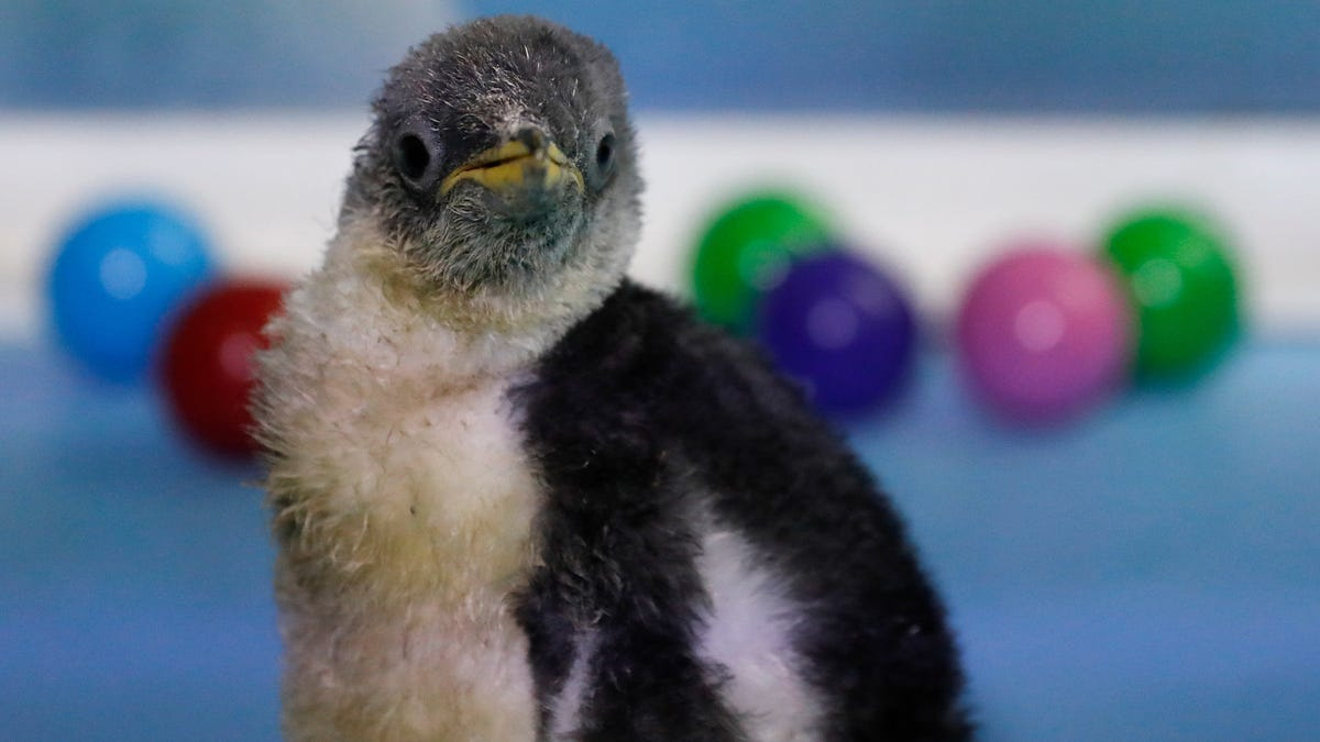 This Adorable Gentoo Penguin Will Make Your Day