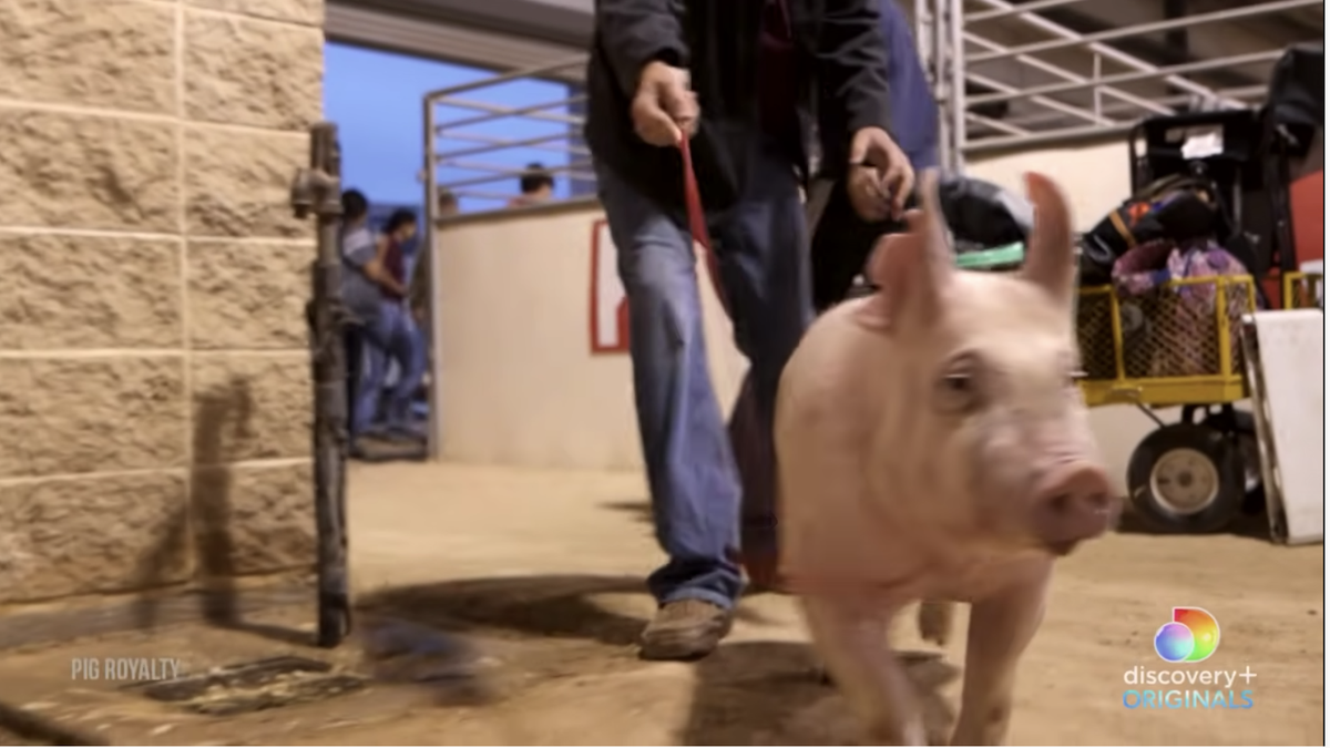 Pig Royalty Is Best in Show