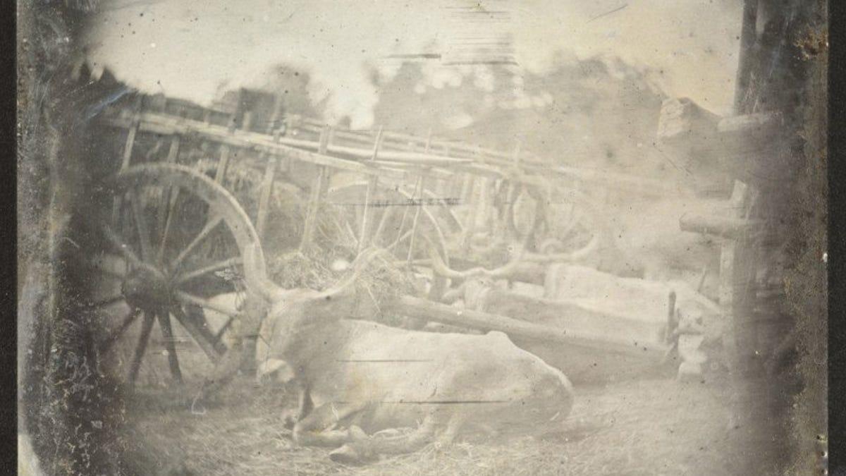 Encuentran la fotografía más antigua conocida de un animal vivo: tres vacas recostadas