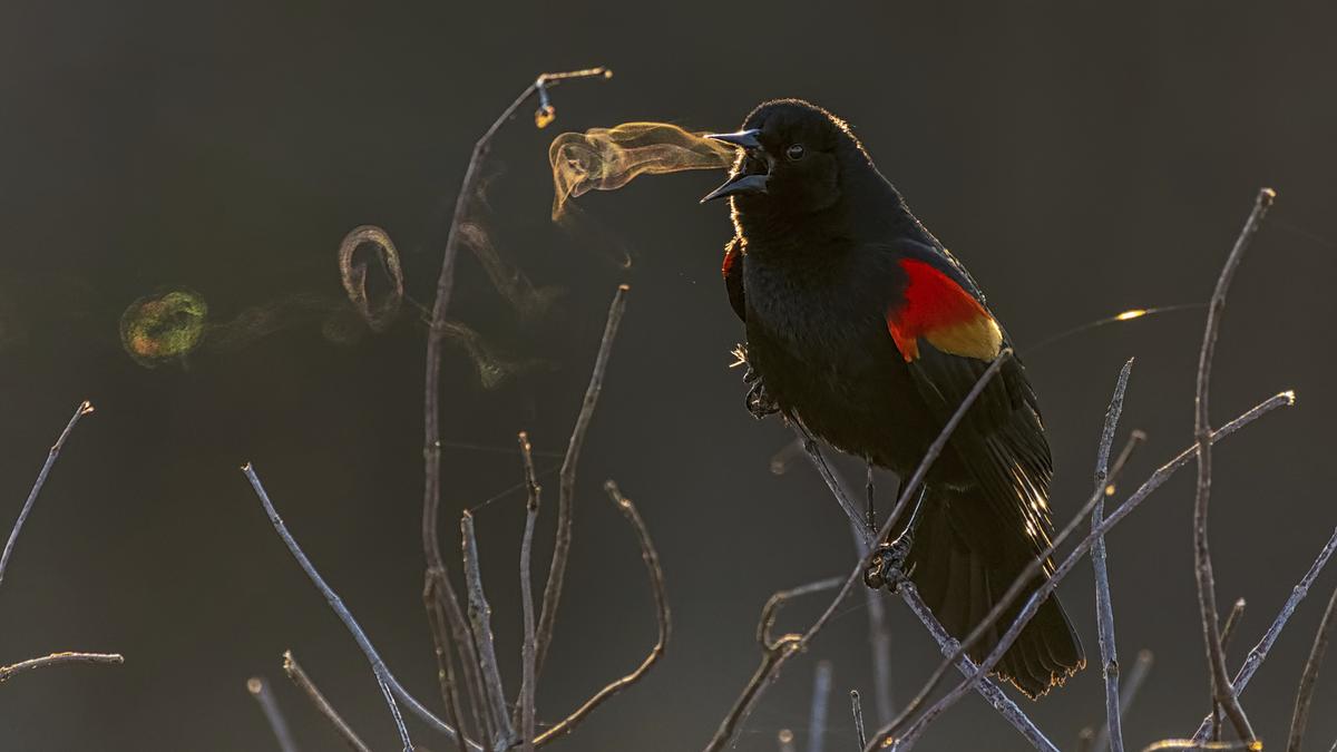 A Blackbird Blowing 'Smoke' Rings Wins Top Prize at the 2019 Audubon Photography Awards