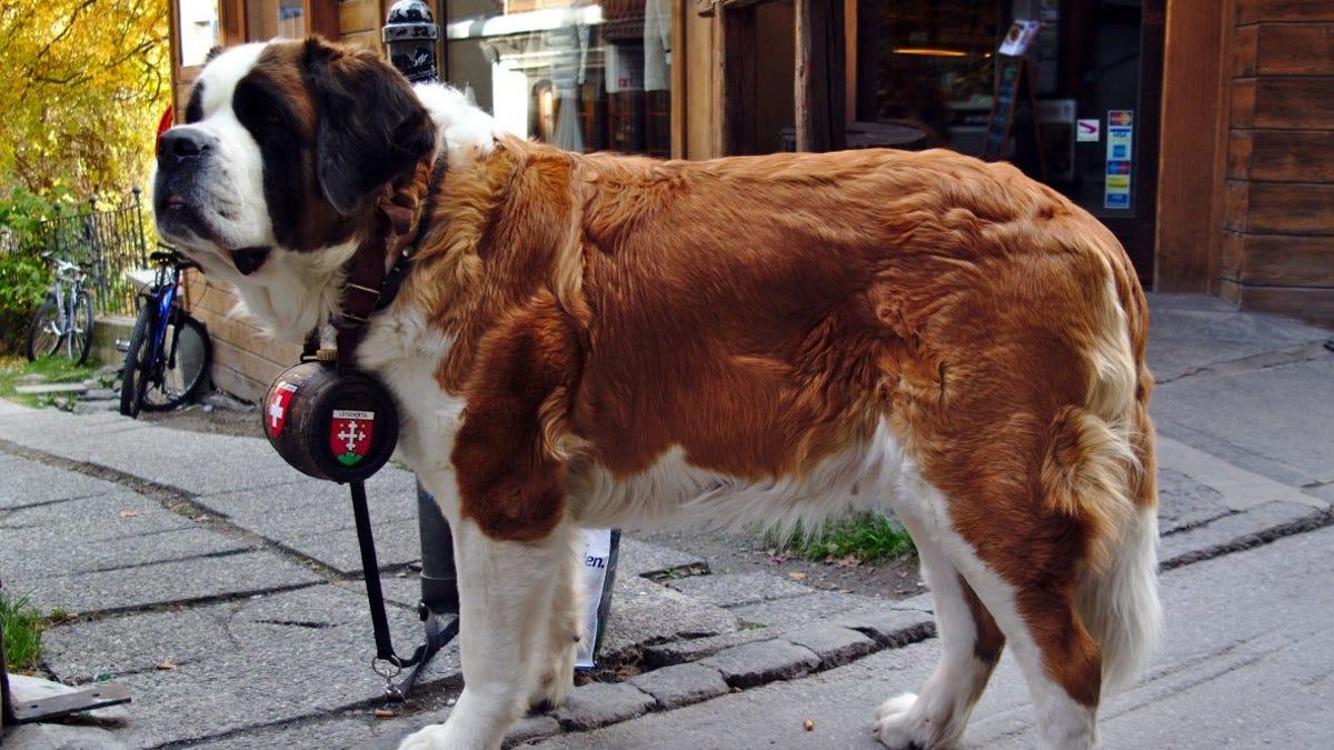 El perro San Bernardo con el barril de alcohol al cuello: cómo creamos la raza y qué hay de cierto en la leyen