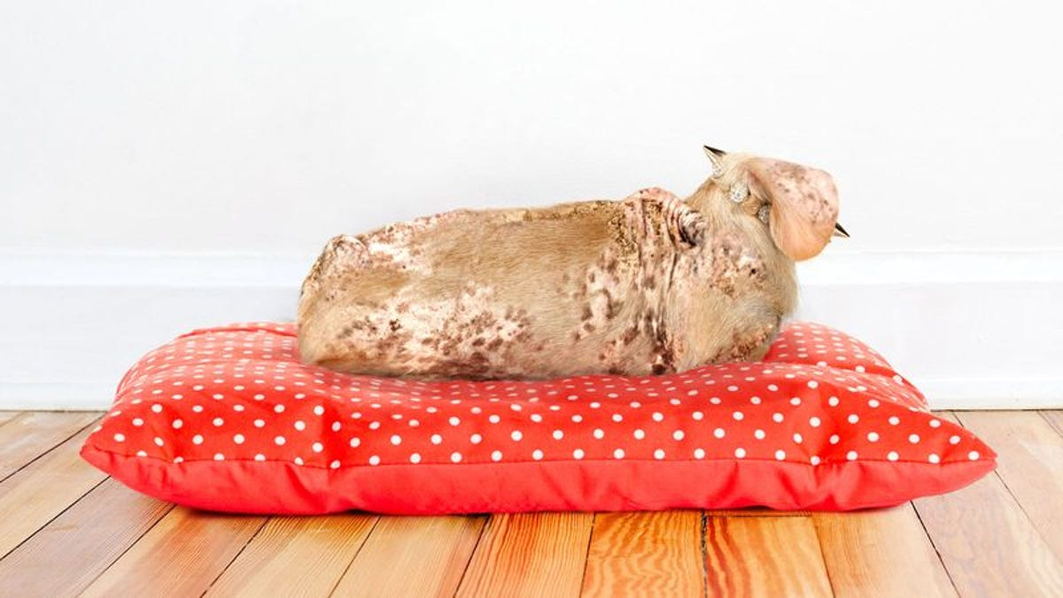 Popular Designer Dog Breed Just Twisted Spinal Cord Attached To Collapsed Lung