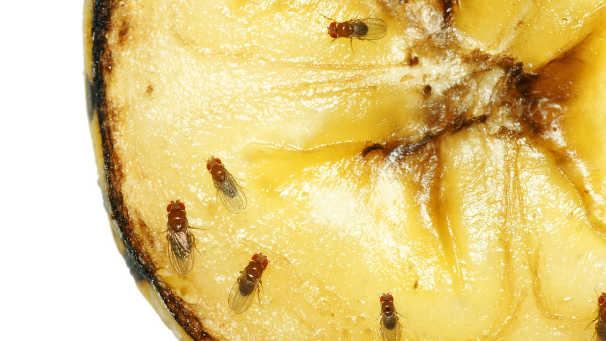 How to Kill Fruit Flies and Their Lookalikes