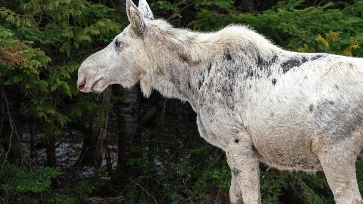 Killing of Rare White 'Spirit' Moose Sparks Outrage in Canada