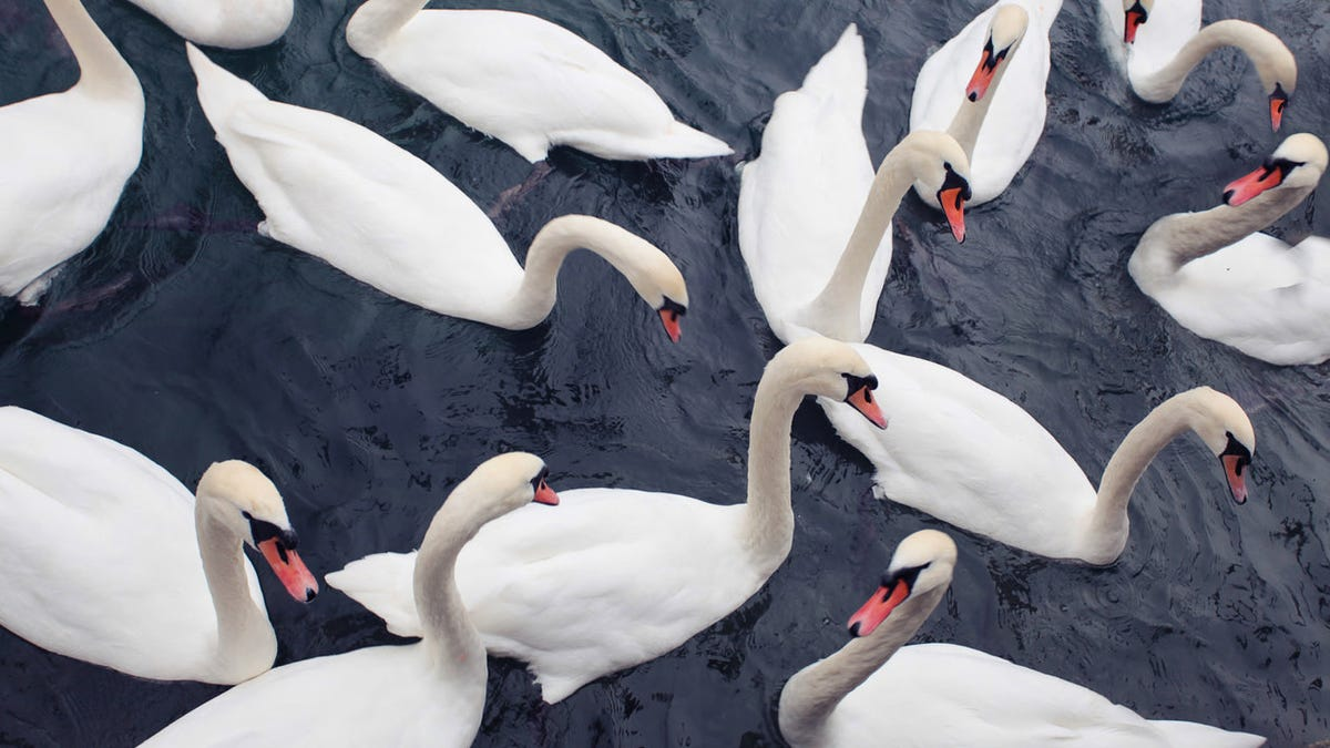 Why don't we eat swans?