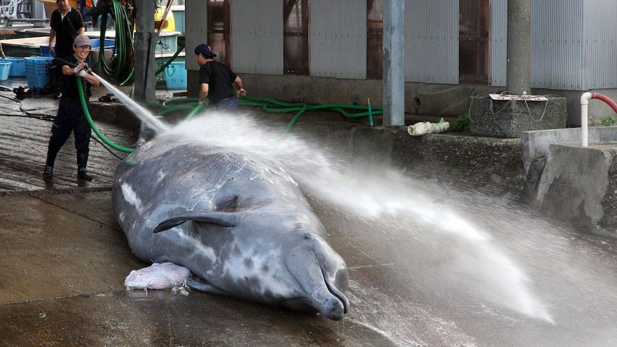 A Crazy New Species of Beaked Whale Has Been Discovered in the Pacific