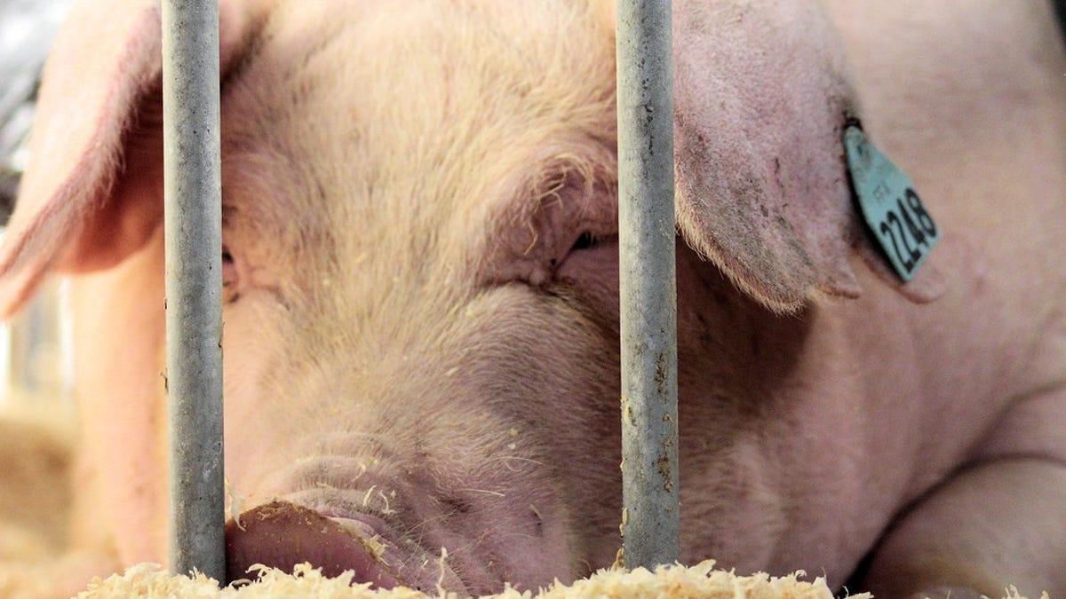 China está criando cerdos gigantes para combatir la escasez de carne del animal