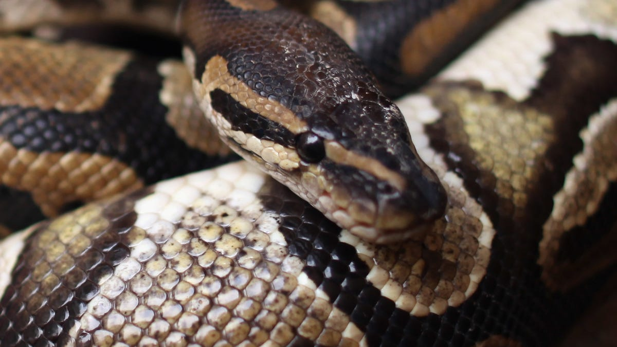 Woman Found Dead With A Python Around Her Neck in House Full of 140 Snakes