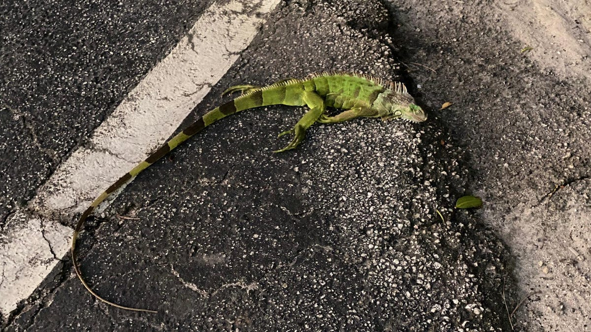It's So Cold in Florida, Iguanas Are Falling From the Sky