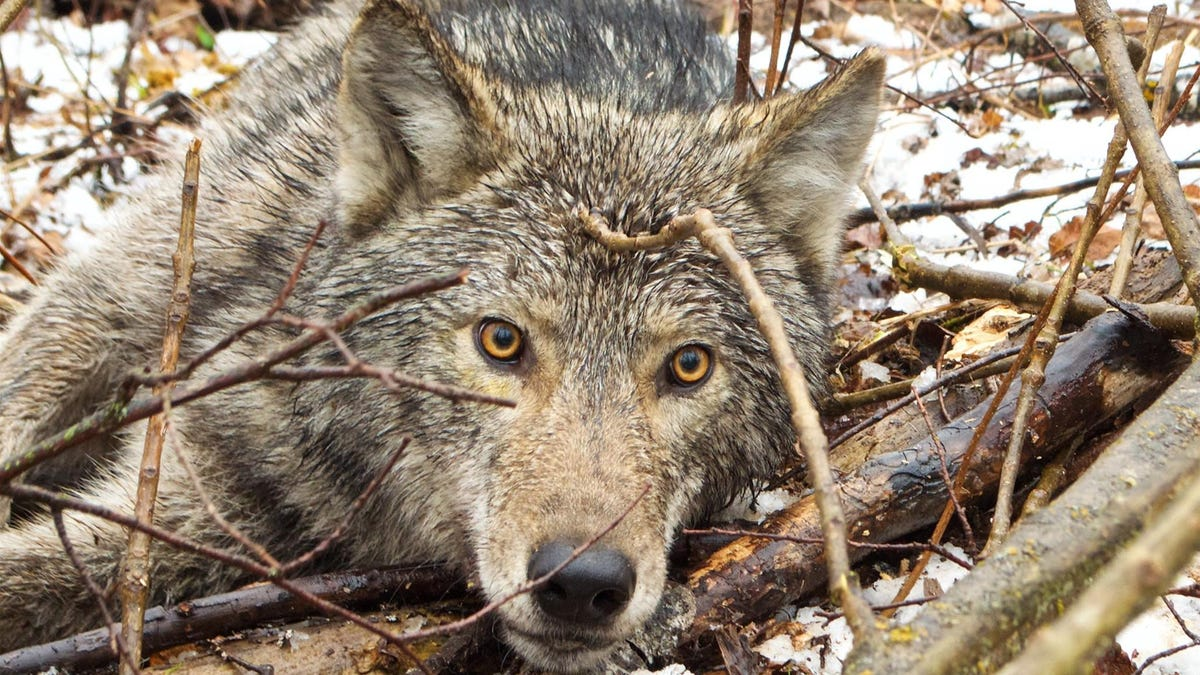 See the First Camera Collar Footage From a Wild Wolf