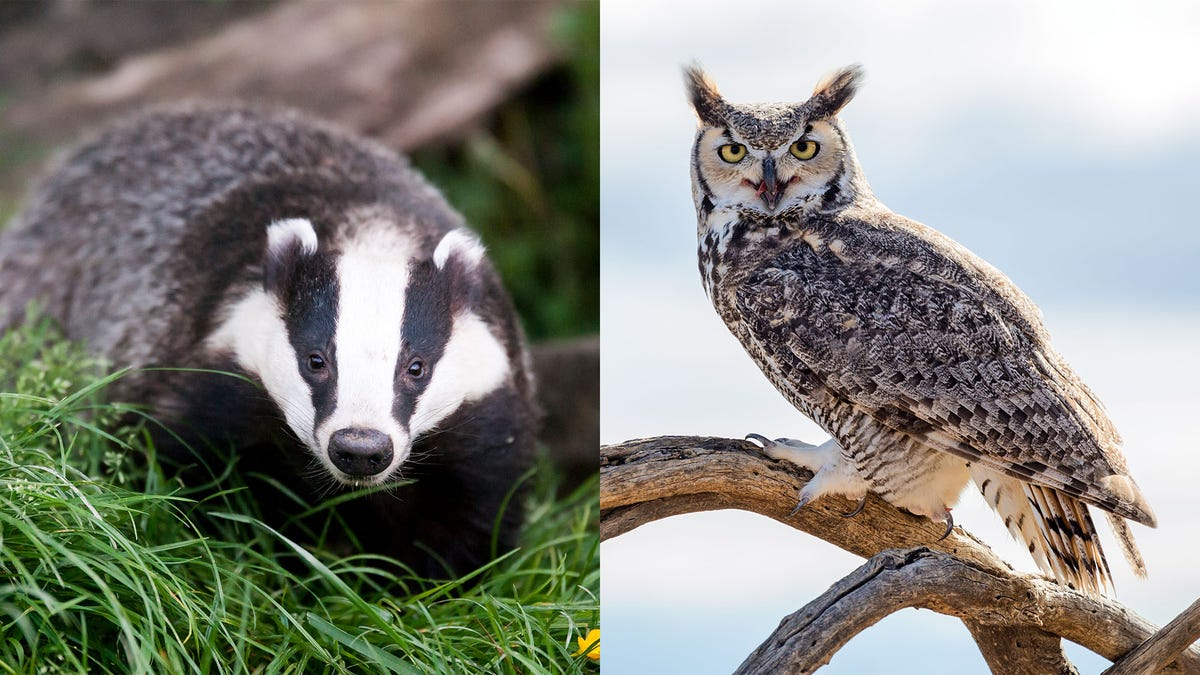 Unlikely Animal Friendship: This Badger And Owl Are Still Friends Even Though The Badger Had Sex With The Owl'