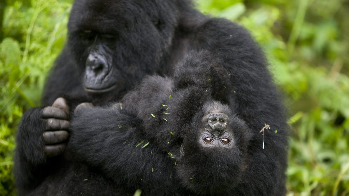 Four Endangered Gorillas Killed By Lightning Strike in Bizarre Accident