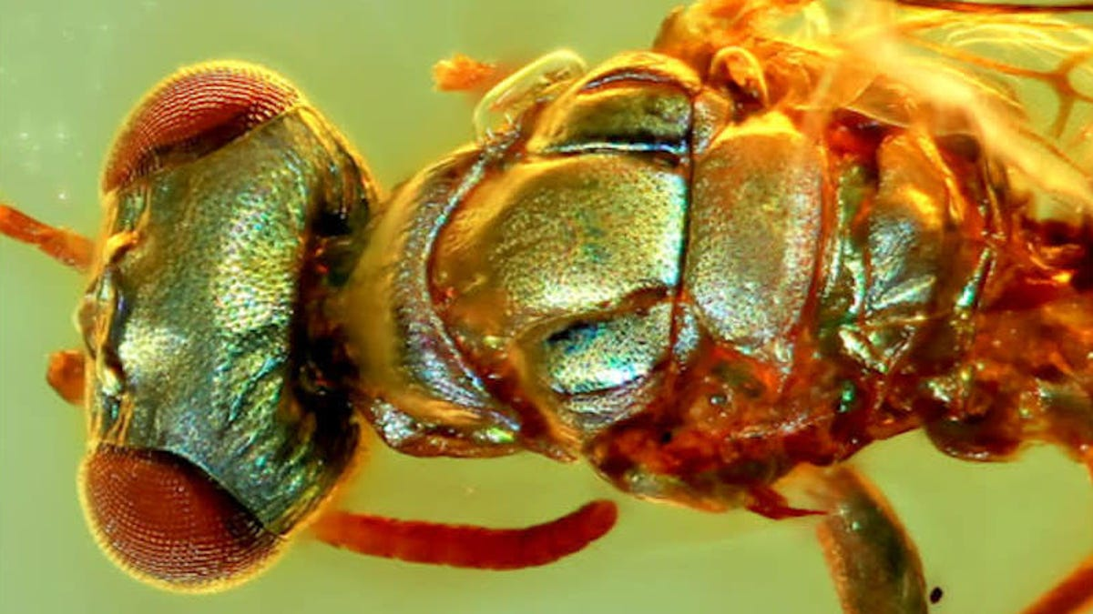 Incredible Amber Fossils Reveal the True Colors of Ancient Insects - Gizmodo thumbnail