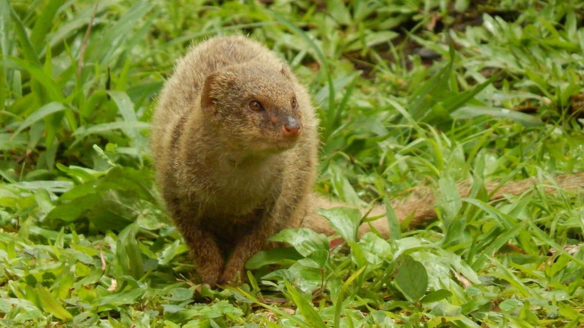 Mongooses Stink Less, Have Bigger Balls After Invading Islands