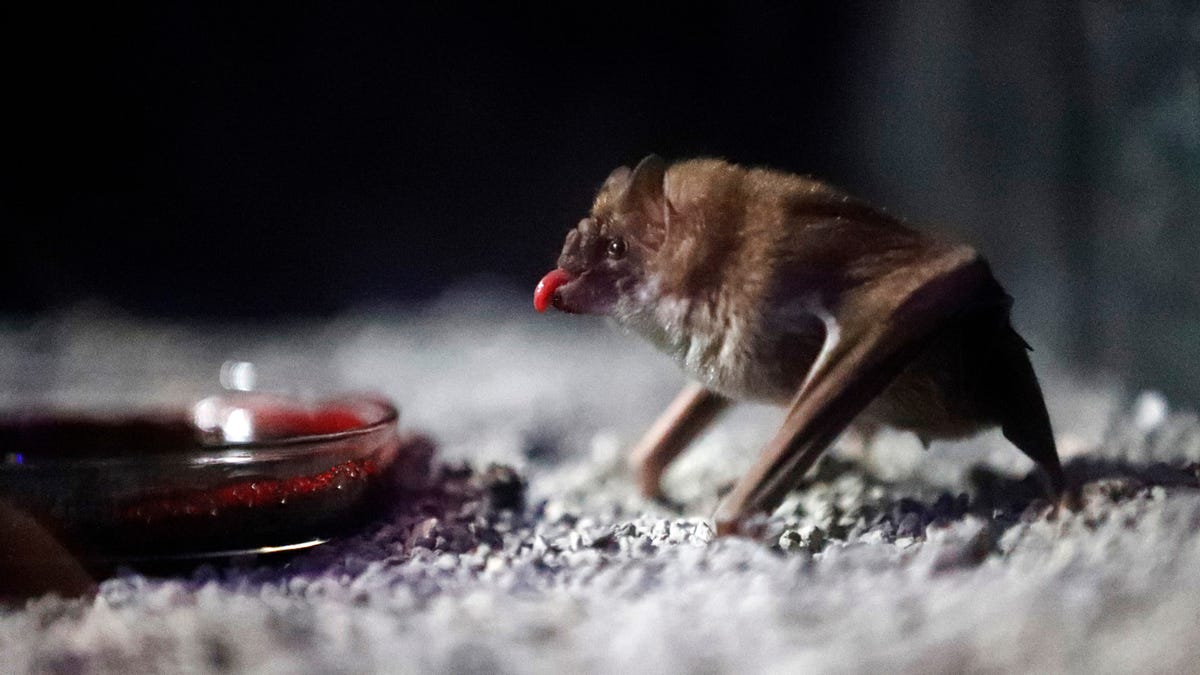 Vampire Bats Will Share Blood With a Friend, but Only After Vigorous Grooming