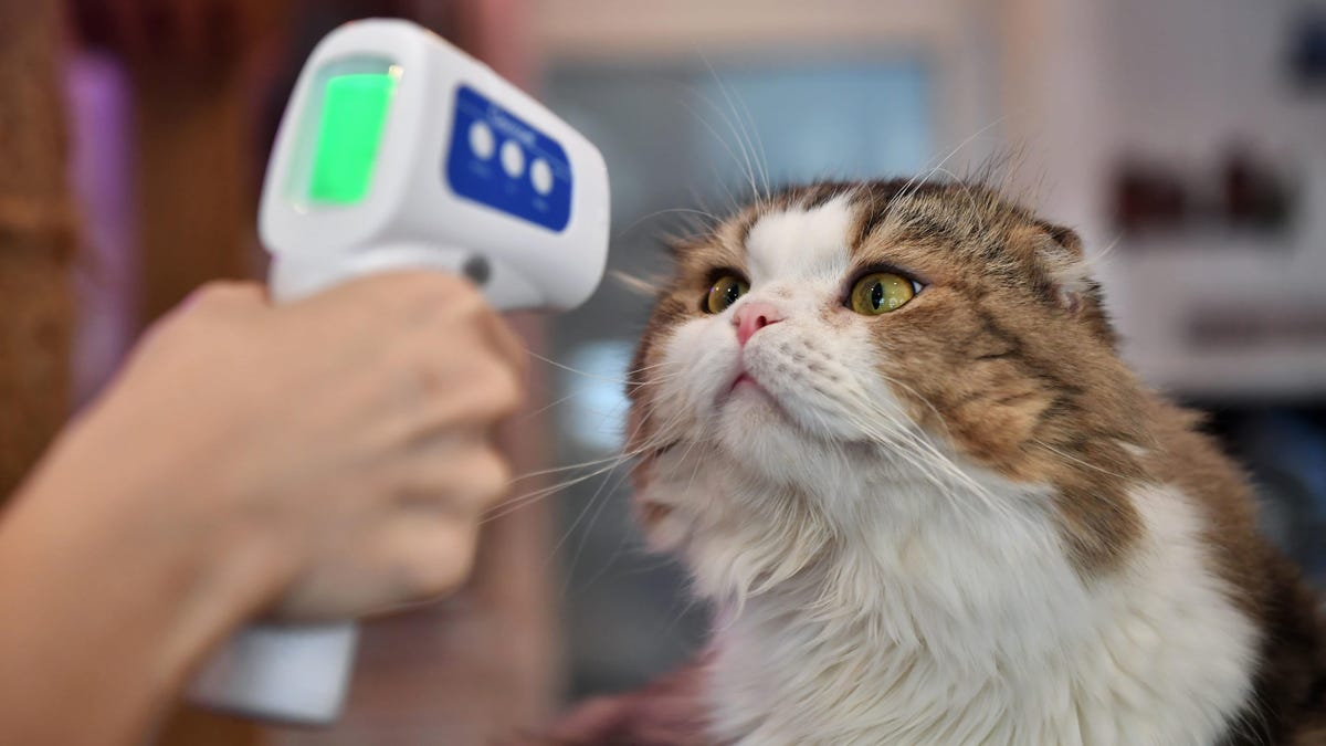 Cats Can Get And Spread the Coronavirus to Other Cats, Study Finds