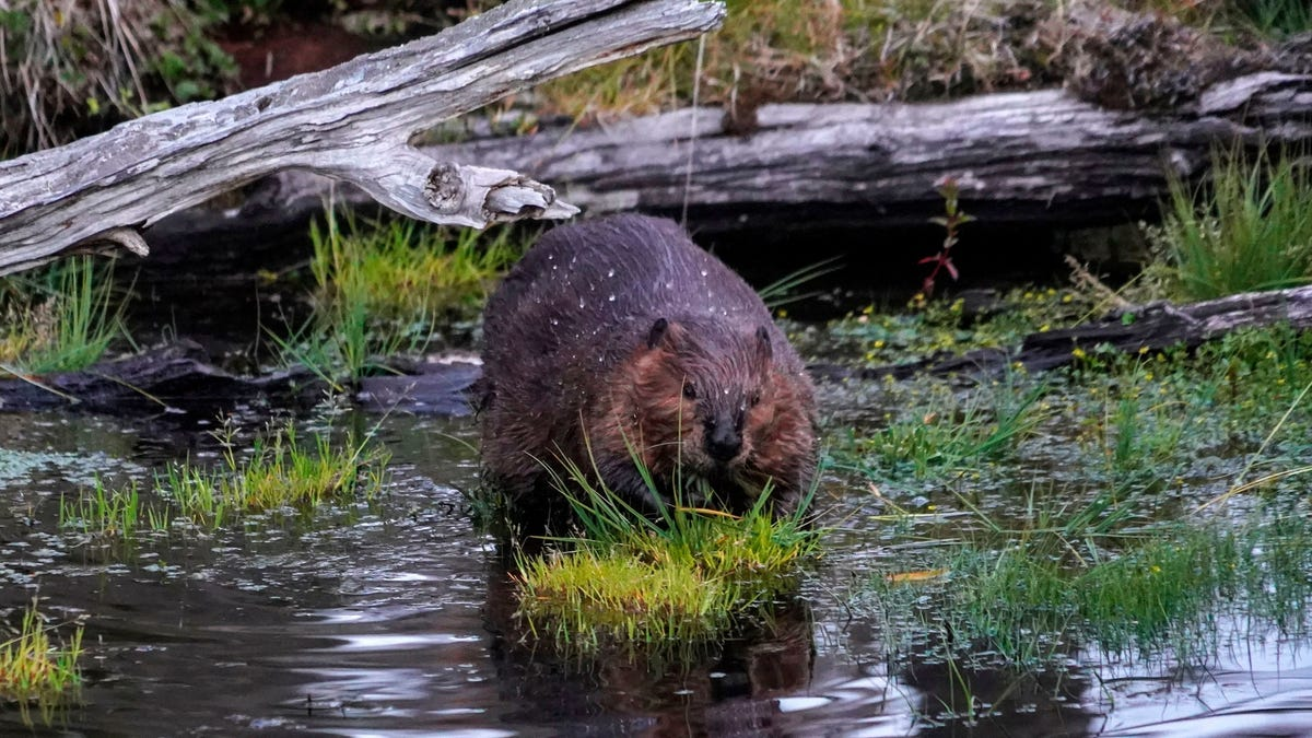 Internet Outage in Canada Blamed on Beavers Gnawing Through Fiber Cables thumbnail