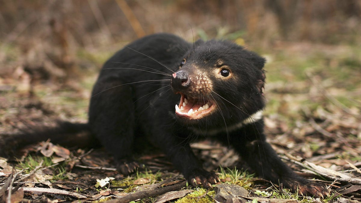 Tasmanian Devils May Not Go Extinct From Deadly Cancer After All